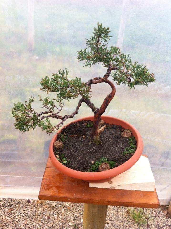 coltivare bonsai Latina