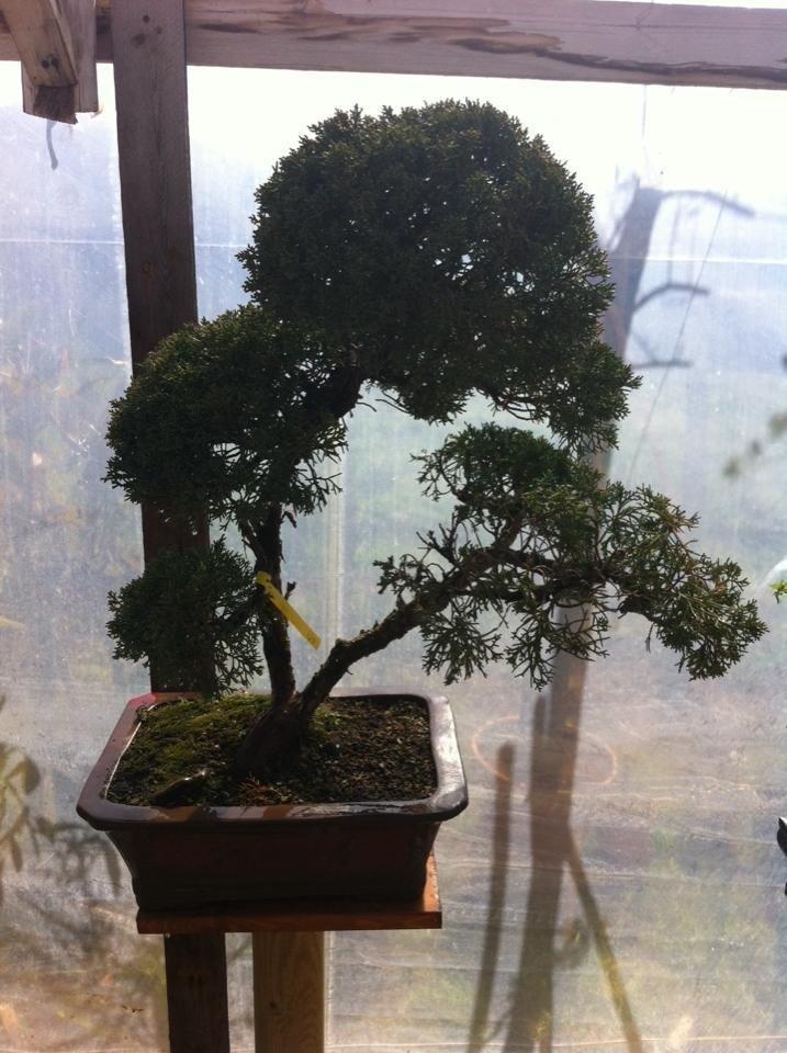bonsai coltivazione