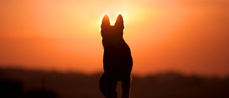 dog in the sunset