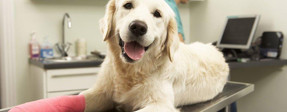 un cane con una benda sulla zampa