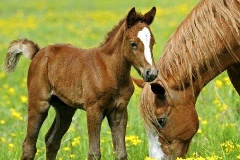 un cavallo e un cavallino