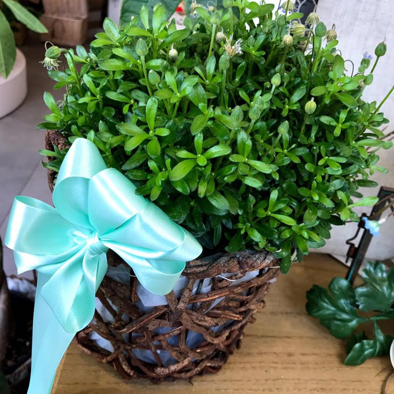 pianta con fiocco azzurro
