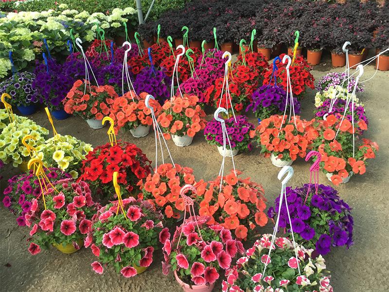 Piante da giardino fiorite trendy piante rampicanti for Siepi perenni fiorite