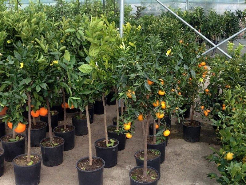 Limone e aranci
