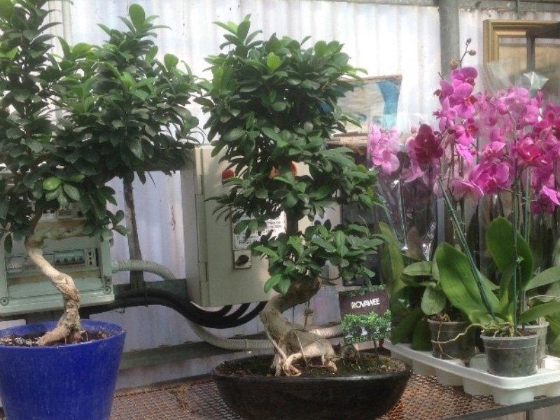 Come scegliere un bonsai