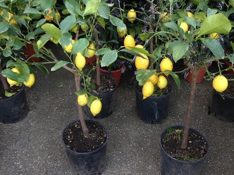 Vasi di limoni