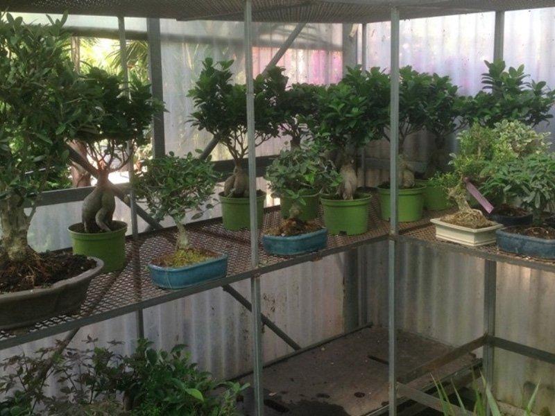 Coltivazione bonsai
