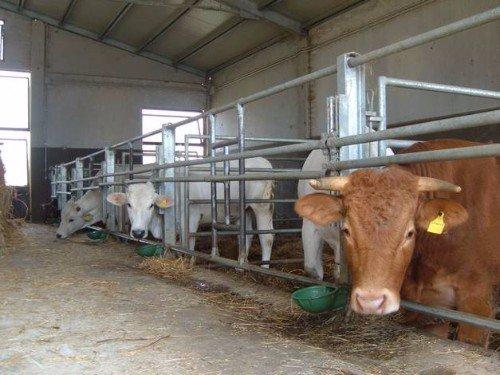 Vacche nella stalla