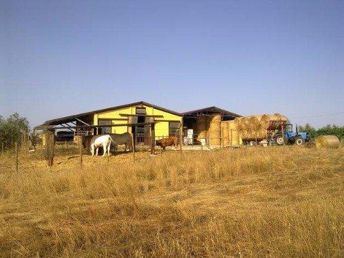 Vacche pascolando vicino del granaio