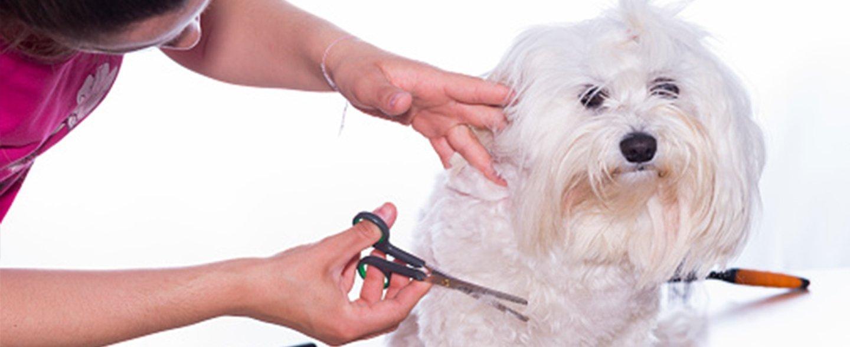 Un piccolo cane bianco durante la toelettatura