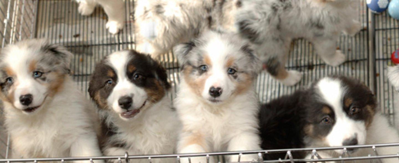 Quattro cuccioli di cane