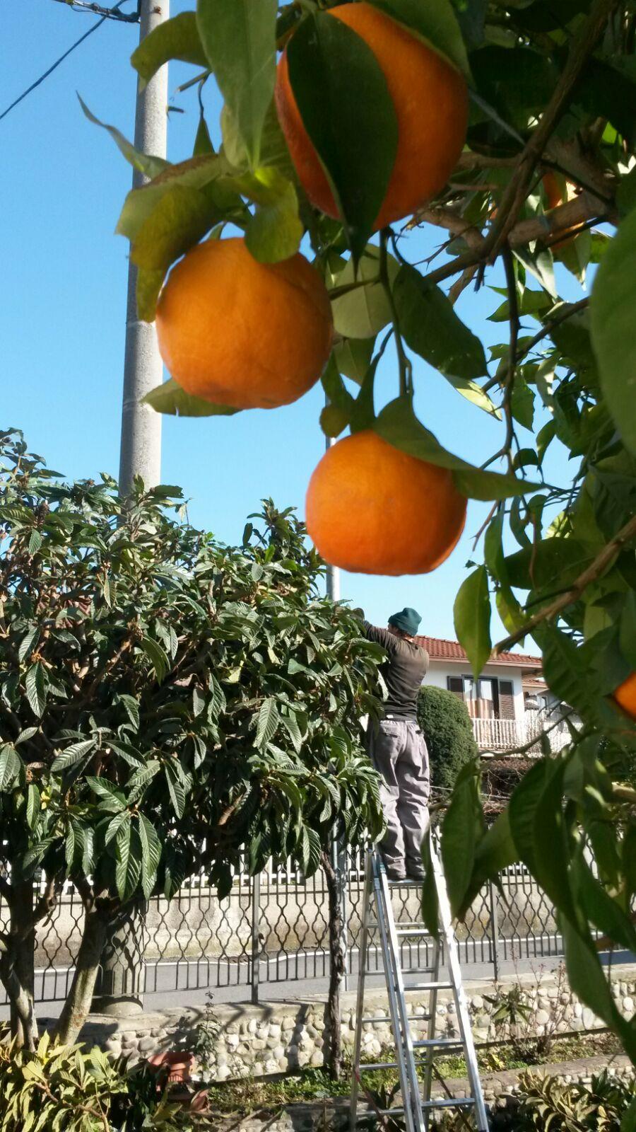 veduta di arance attacate all'albero