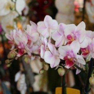 piante orchidea