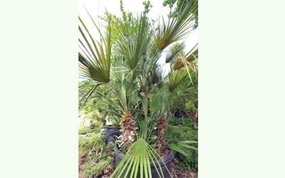 vendita palme