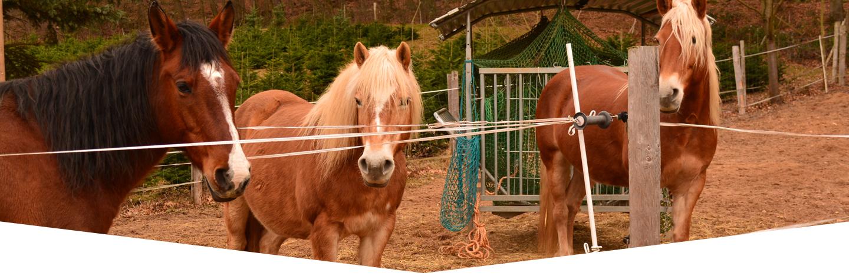 cavalli marroni