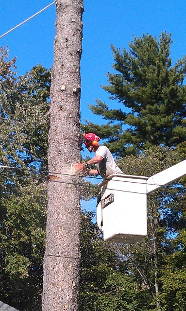 Routine Tree Trimming