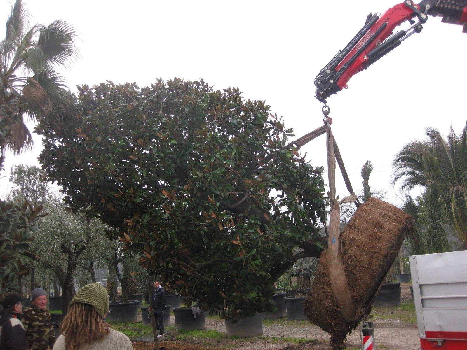 albero che viene preso e trascinato da una gru