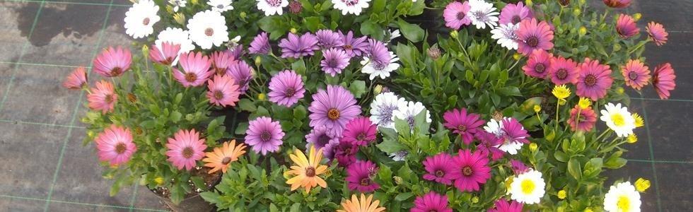 fiori in vaso oria