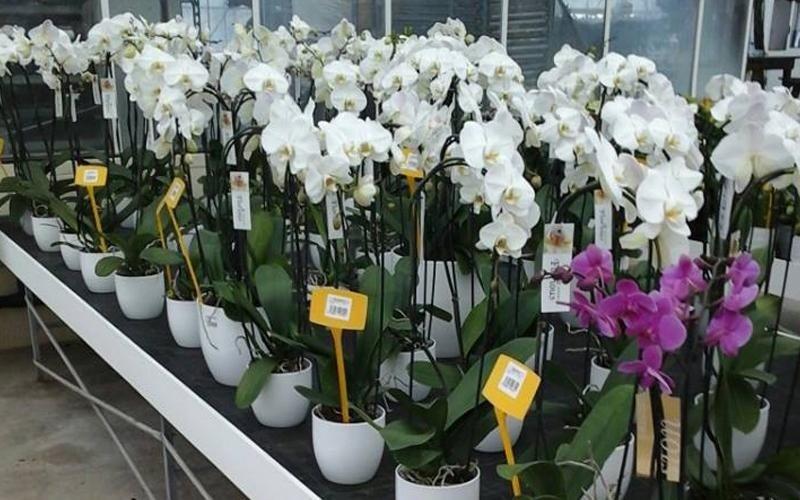 orchidee oria