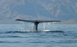 blue whale watching in Mexico