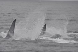 blue whales racing
