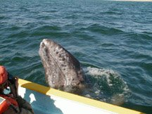 baby whale by boat.jpg (23479 bytes)