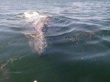 gray whale in kelp.jpg (16951 bytes)