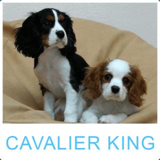 Allevamento Cavalier King