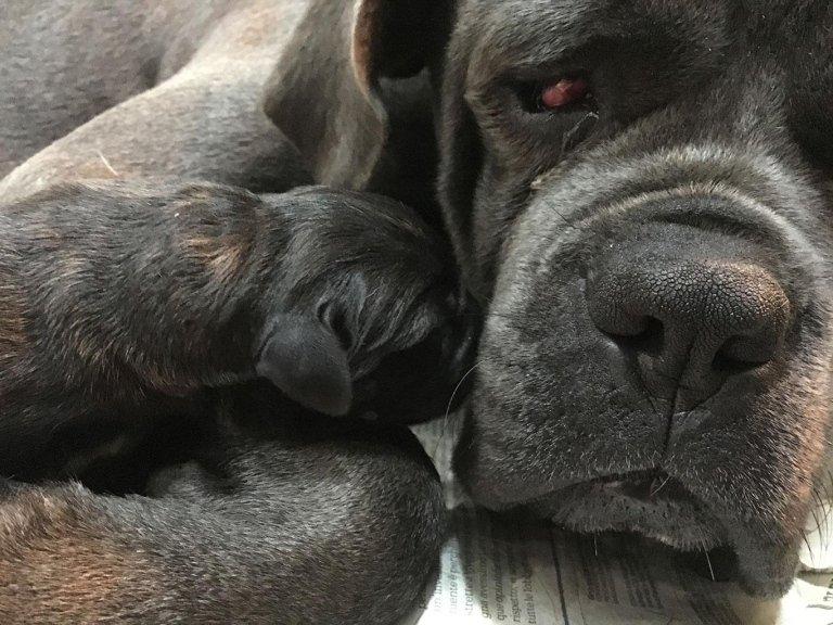 Cucciolata cani Corso La Spezia
