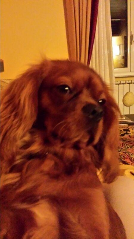 Cavalier King Charles Spaniel La Spezia