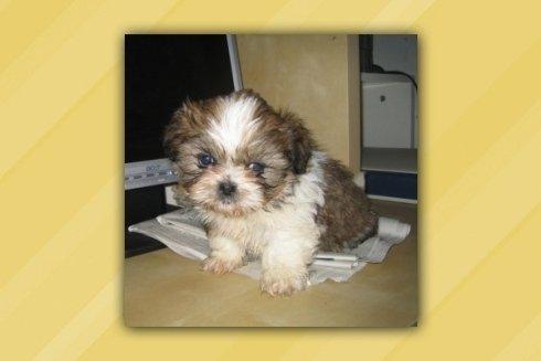 cucciolo piccola taglia