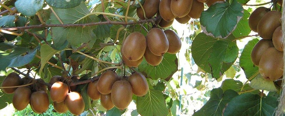 Impianti di irrigazione per kiwi