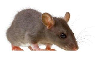interventi contro topi e ratti