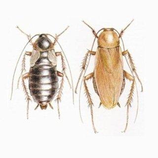 scarafaggi