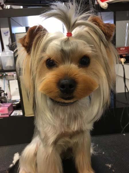 cane con acconciatura a codini