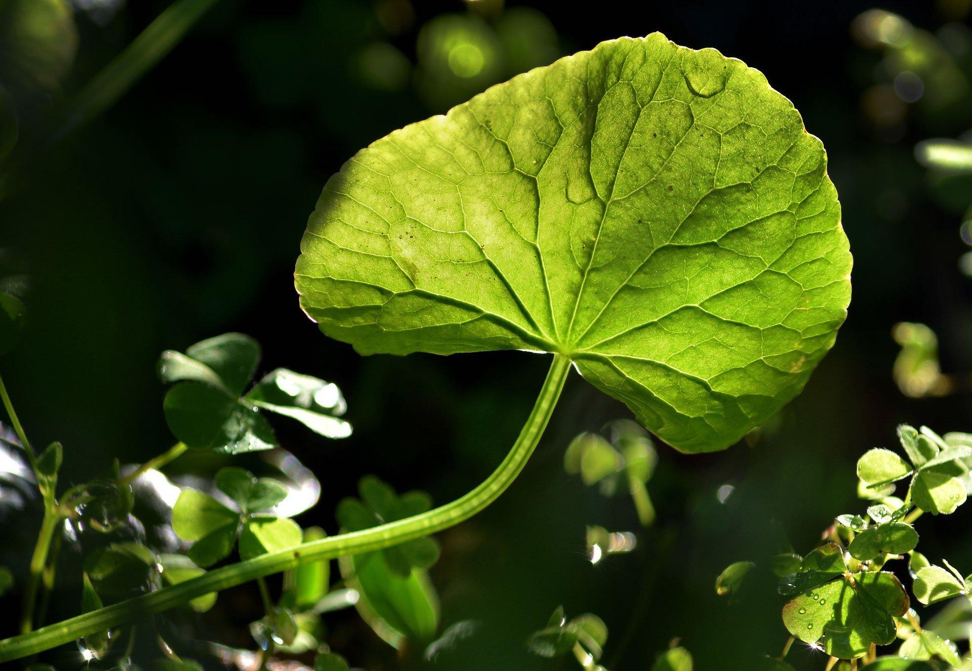 Centella leaf
