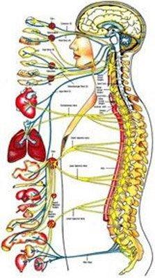 interazione organi e spina dorsale