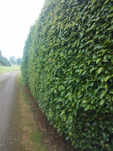 before hedge trimming