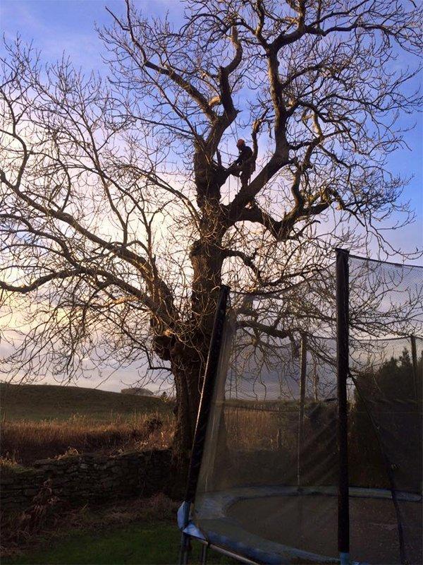 tree before felling