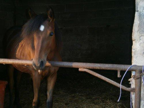 un cavallo marrone