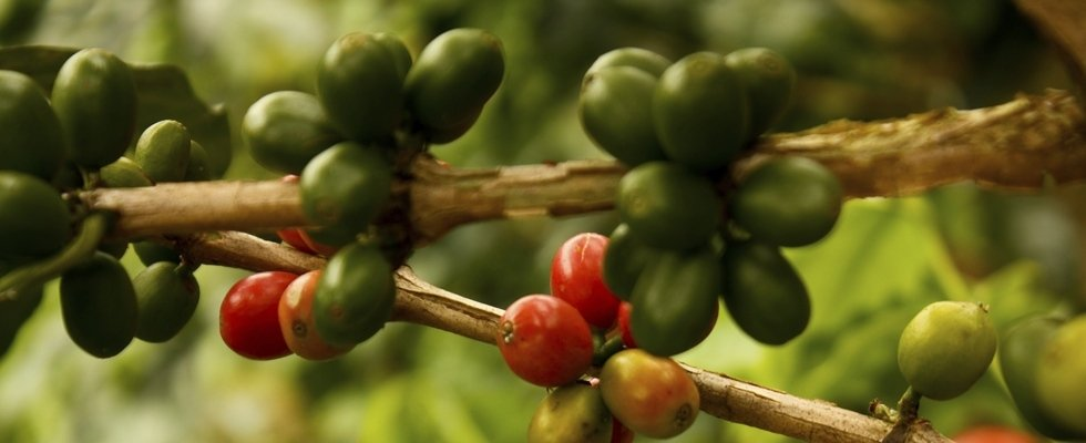 Chicchi di caffe su pianta