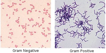 Gram staining slides