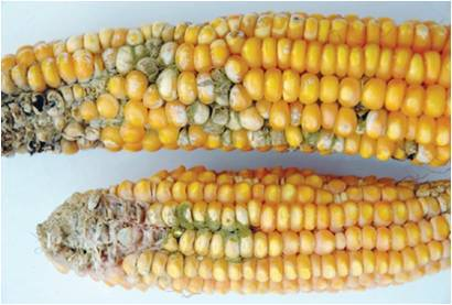 La aflatoxina maíz infectado