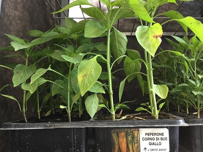 piantini di peperone giallo