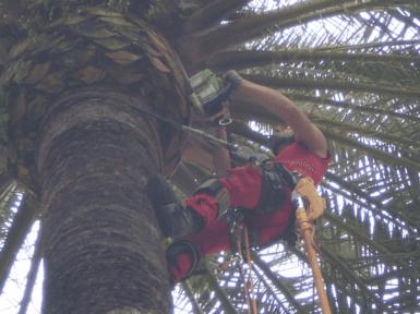 Manutenzione palma con tree climbing