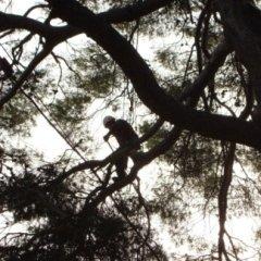 Potatura alberi in tree climbing