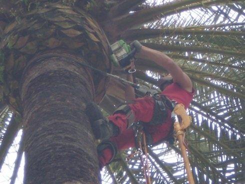 Potatura palma
