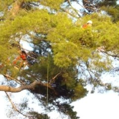 Servizio di potatura tree climbing