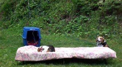 Beagle dogs camping