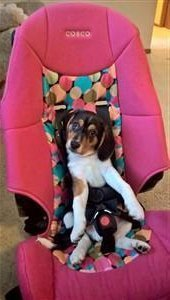 female beagle in pink seat